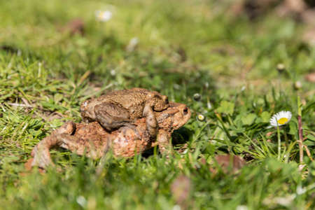 Toads mating in green grass - spawning season and toad migration