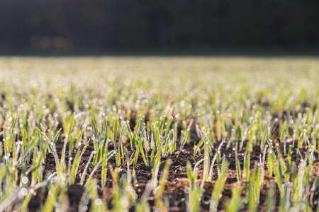 Morgentau auf jungen Sprossen und Sämlingen - Tautropfen