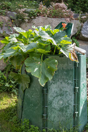 The heat of composting promotes the growth of the pumpkin plant in the garden - compost heap