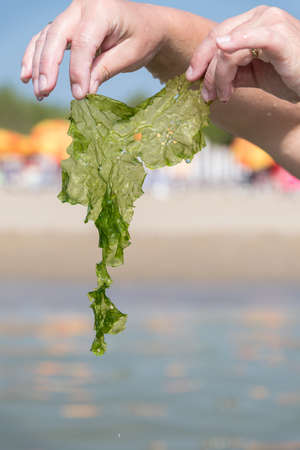 Hands holding seaweed on coast - Tang