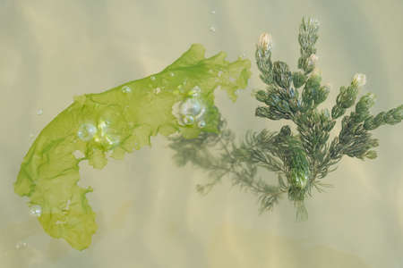 Algae and kelp float on surface of the sea - close-up Stock Photo