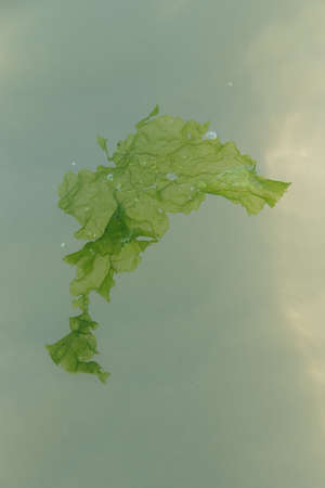 Kelp floats on sea surface - close-up of seaweed Stock Photo