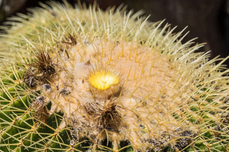 Close-up of blooming large ball cactus with long thorns
