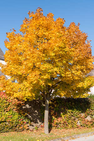 glowing maple tree with discolored leaves in the sun - deciduous maple Stock Photo