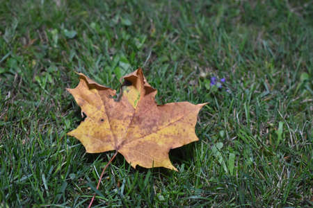 single fallen leaf from a Norway maple tree in autumn