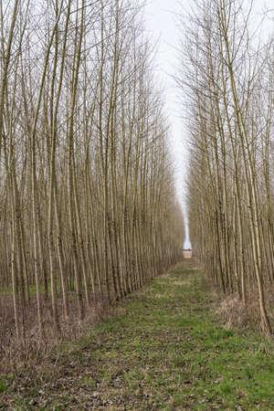 straight path leads through a avenue in monoculture Archivio Fotografico