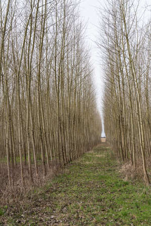 straight path leads through a avenue in monoculture
