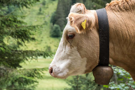 Dairy cow guides cows with cowbell - close-up spotted cattle, portrait