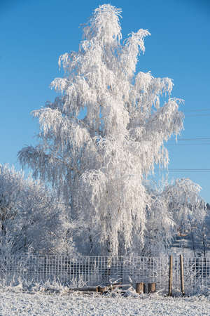 Snow-covered birch in hoarfrost - the magic of winter Ripe and frosty cold