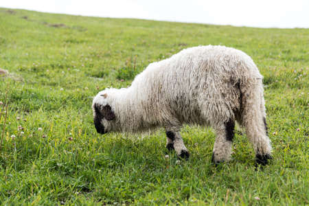Woolly breed of sheep - Walliser black-nosed sheep on the pasture Standard-Bild