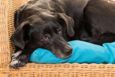 black dog lies relaxed on rattan armchair - Labrador hybrid Standard-Bild
