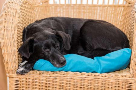 Black Labrador mix sleeps on rattan armchair - favorite place for dog Standard-Bild