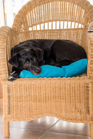 black Labrador hybrid lies relaxed on his favorite place - dog on the rattan armchair