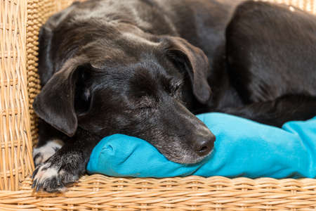 black labrador hybrid sleeps on rattan armchair - favorite place of a dog