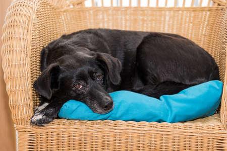 Dog relaxes on rattan furniture - black labrador hybrid Standard-Bild