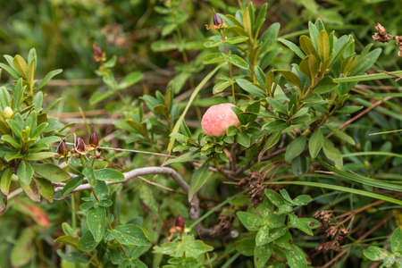 poisonous fruit of the evergreen shrub rusty-leaved Alpine rose