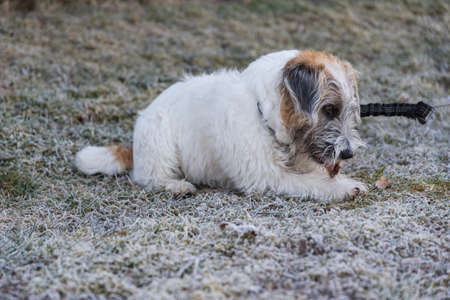 Jack Russell Terrier puppy chews in the hoarfrost in a meadow