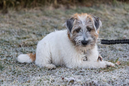Jack Russell Terrier puppy lies intently in the hoarfrost Standard-Bild