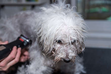 Dog groomer cuts dog fur with clipper in the dog salon