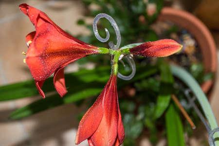 red amaryllis flower trio on a stem in different development Standard-Bild