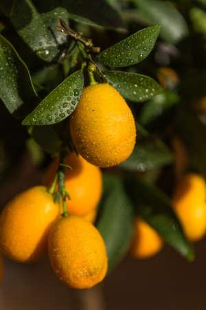Fresh fruit, rich in vitamins, dwarf oranges - citrus fruit kumquats on ornamental trees Standard-Bild