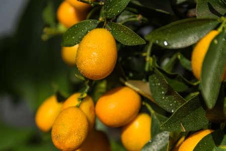 Kumquats as vitamin-rich fruit - citrus fruit, dwarf oranges, fresh fruit