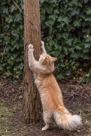 red domestic cat claws its claws on a tree