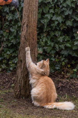 red domestic cat is joking and wants to climb tree
