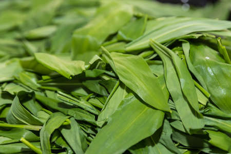 Wild garlic leaves are dried - wild vegetables and medicinal plants, aromatic plants