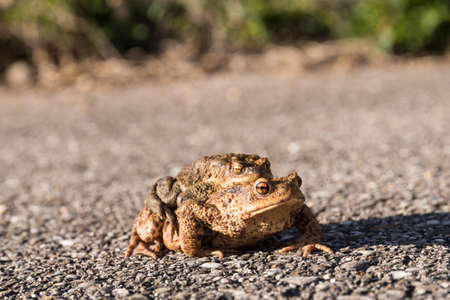 Mating - Toads on migration across asphalt to wetland