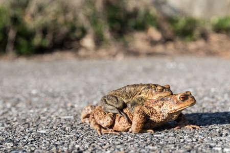 Pair of toads migrate over asphalt to wetlands - mating season Standard-Bild