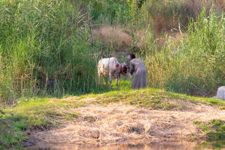 Nubian man brings his cows back home at sunset after they have been grazing in the outskirts of the village.