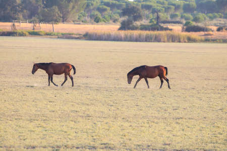 Purebred Andalusian Spanish horses, mares grazing in dry pastures of wetlands of Donana National Park, Donana nature reserve Stock Photo