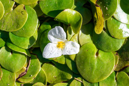 Hydrocharis morsus-ranae, frogbit, is a flowering plant belonging to the genus Hydrocharis in the family Hydrocharitaceae. It is a small floating plant resembling a small water lily.