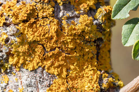 Detail of fungus on the bark of a tree.The bark of trees and bush are often used for placement of plant parasites, including mosses, fungi and lichens.