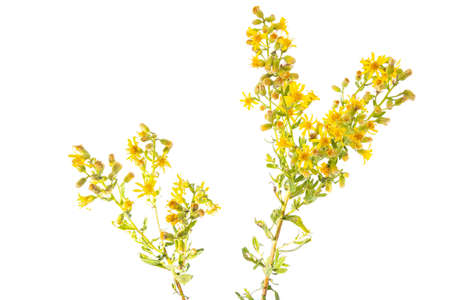 Dittrichia viscosa, also known as false yellowhead, woody fleabane, sticky fleabane, Sticky aster and yellow fleabane, is a flowering plant in the daisy family.