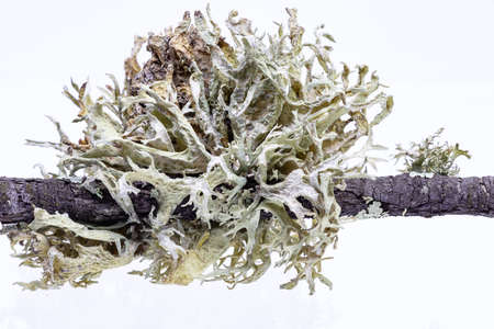 Macro Photography of moss in a cork oak branch. This lichen causes the disease of commonly known as la seca and finally origin the decay and death of the oaks and cork oaks