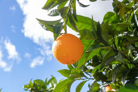 Orange in the branch of an orange tree