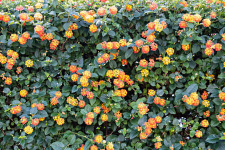 Lantana camara sanguinea, Verbenaceae family. It's a Mediterranean garden plant highly appreciated for the amount of flowers it offers us and for the long period of time it does Stock fotó