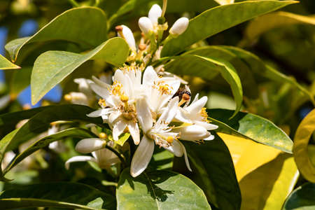 Orange blossom is the name of the white flowers of the orange tree, lemon tree and citron. The name is popularly associated with the orange blossom, the most appreciated of all for its beauty, aroma