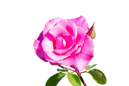 Pink rose. The Rosa genus is made up of a well-known group of generally thorny and flowery shrubs, the main representatives of the Rosaceae family. isolated on white background