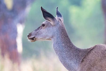 Detail of head of Female wild red deer (Cervus elaphus) in the forest at sunset in autumn