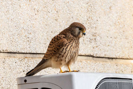 Common kestrel (Falco tinnunculus) perched on an air conditioner Stockfoto