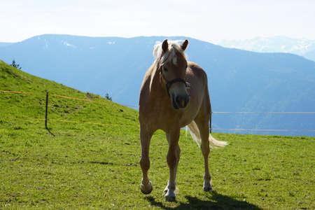 Haflinger horse, South Tyrol, Italy