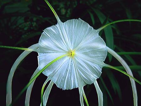 blomming: asian lilly blomming at the evening rain season Stock Photo