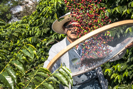 Sao Paulo, Brazil. June 18, 2009. Man harvesting coffee on the orchard of the Biological Institute, the oldest urban coffee plantation in the country, located in Vila Mariana, south of SÃ £ o Paulo Éditoriale