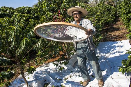 the working day: São Paulo, Brasil. 18 de junio de 2009. El hombre cosecha café en la huerta del Instituto Biológico, la plantación de café urbano más antigua del país, ubicada en Vila Mariana