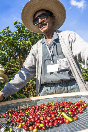 Sao Paulo, Brazil. June 18, 2009. Man harvesting coffee on the orchard of the Biological Institute, the oldest urban coffee plantation in the country, located in Vila Mariana