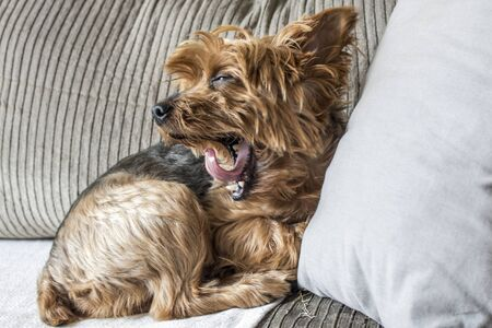 alf: Yorkshire dog lying on the sofa in a living room in Sao Paulo Stock Photo