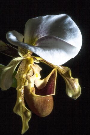 alf: White orchid in black background.